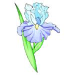 O·351: Голубой ирис