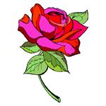 O·379: Чайная роза