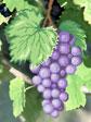 A554 Чорний виноград