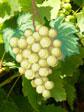 A555 Білий виноград